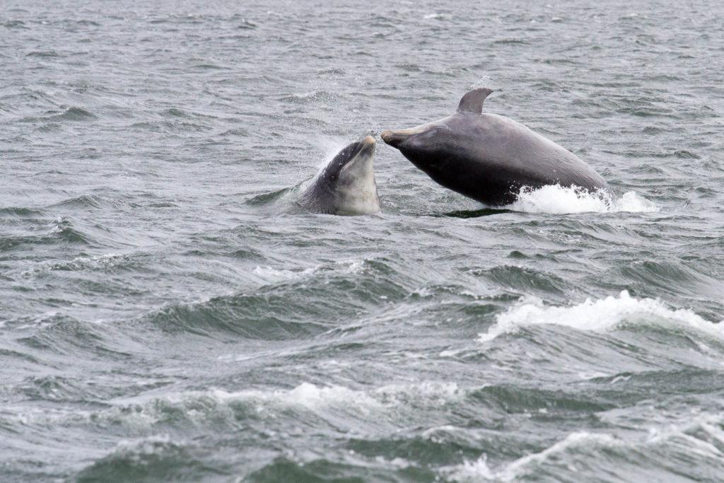 saut de deux dauphins face à face