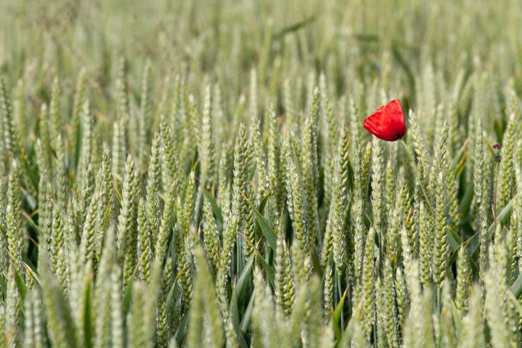 coquelicot au milieu d\\\'un champ de blé
