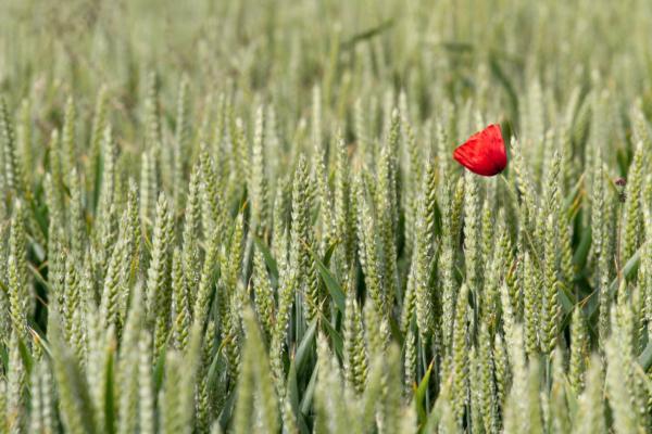 coquelicot au milieu d'un champ de blé