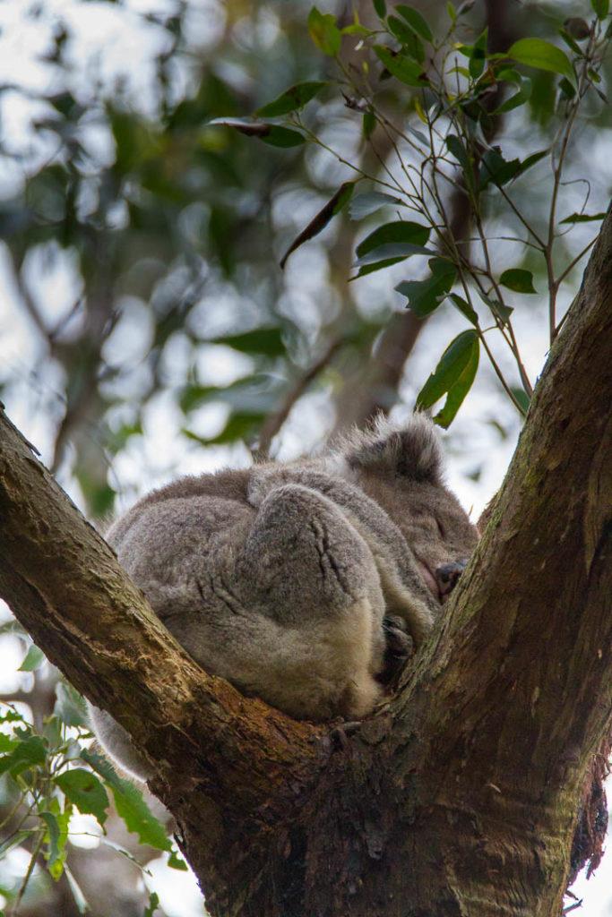 koala endormi au creux d\'un arbre
