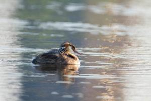 un grèbe huppé adulte nage avec son petit sur le dos