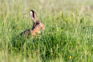 un lièvre dans l'herbe à Delft