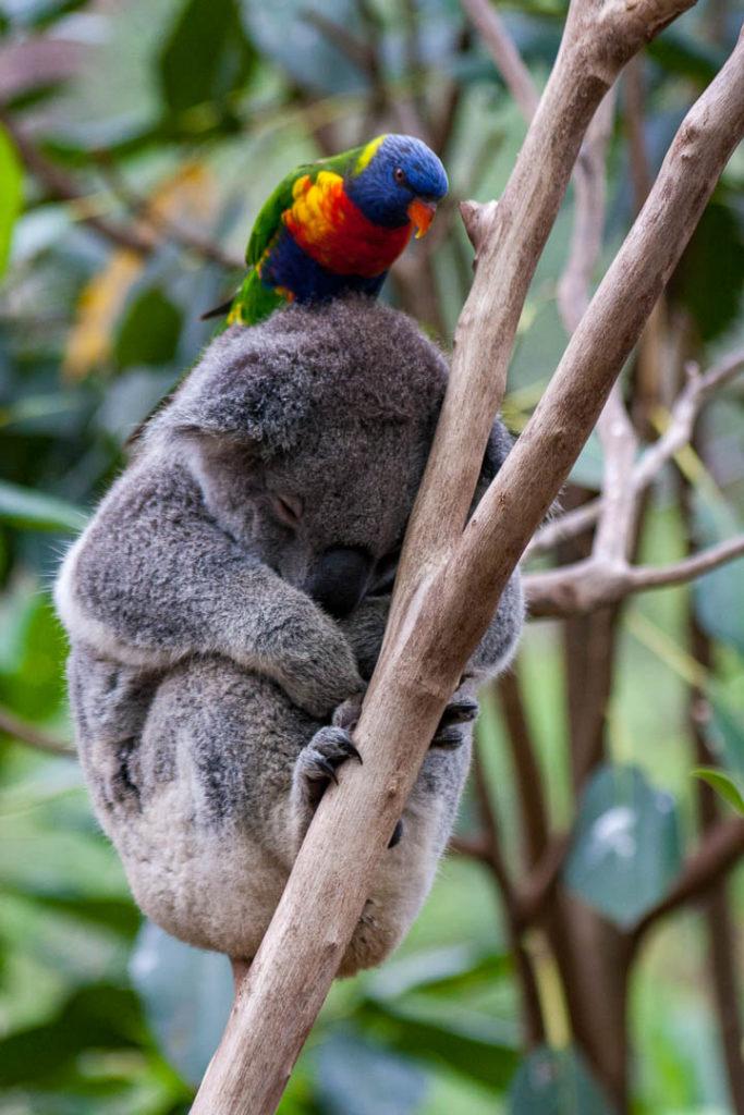 loriquet perché sur la tête d\'un koala qui dort