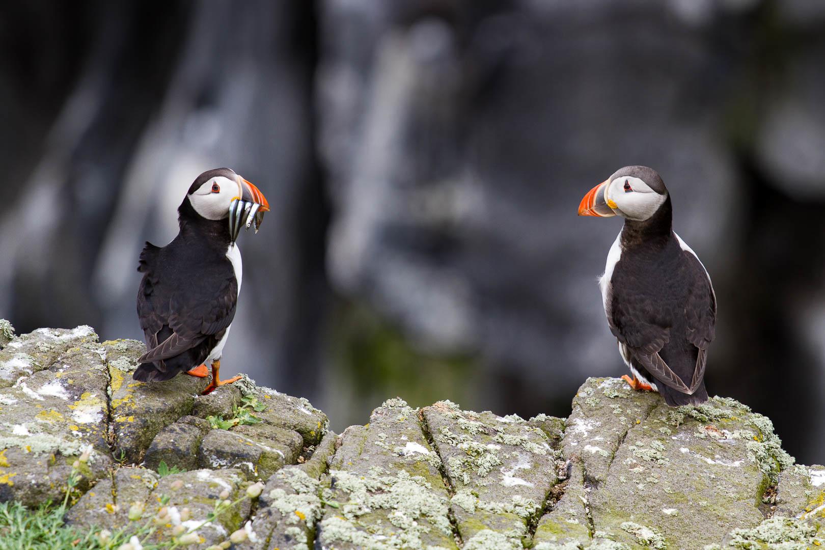 deux macareux sur les rochers dont un a le bec plein de poissons