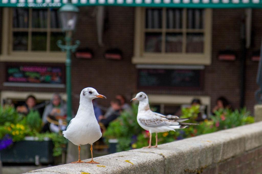 deux mouettes à Amsterdam