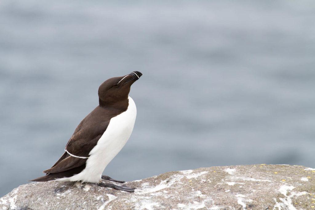 pingouin sur un rocher