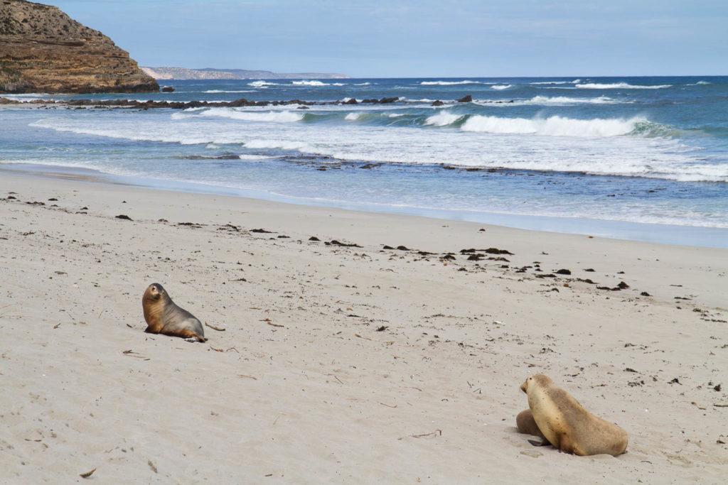 otaries sur la plage à Kangaroo Island