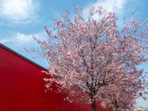 prunus en fleurs sur fond de ciel bleu et mur rouge vif