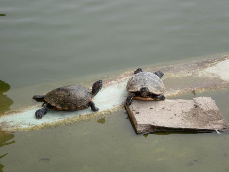 deux tortues de Floride dans les douves du château