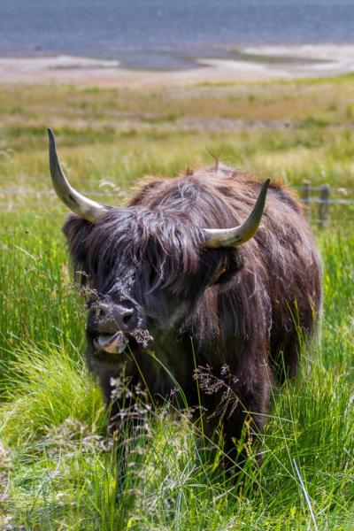 vache qui attrape une herbe avec sa langue