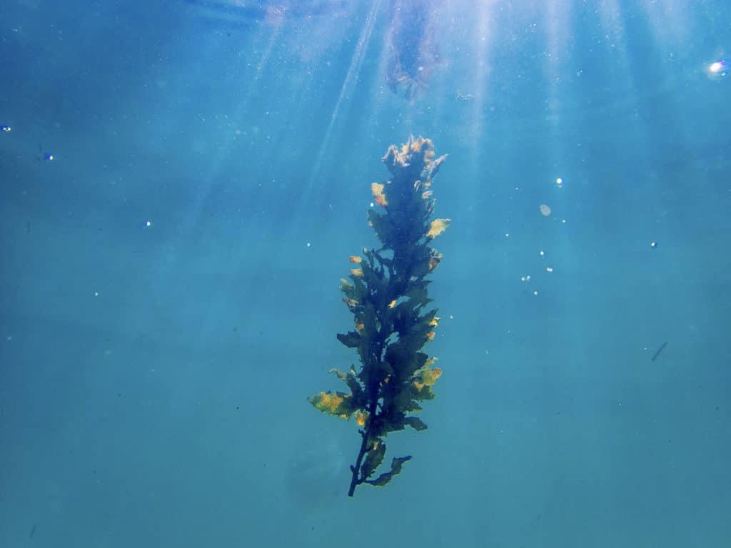 algue dans l'eau
